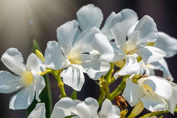 oleander pestovanie