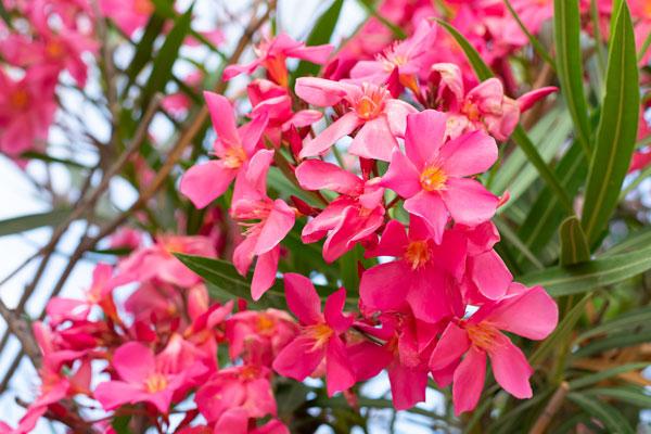 oleander starostlivosť